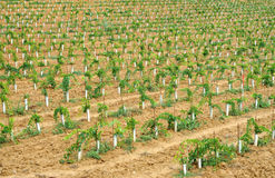 Young vineyard in Chianti, Tuscany Stock Images