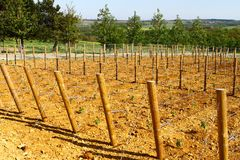 Young vineyard, grape plantation with very small plants Royalty Free Stock Photos
