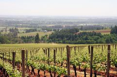 Young Vineyard Rows. Straight vineyard rows in Spring Royalty Free Stock Photography