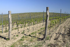 Young Vineyard Royalty Free Stock Photography