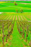 Young Vineyard Royalty Free Stock Photos