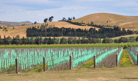 Young Vineyard at Waipara, North Canterbury Stock Photos
