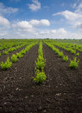 Young Vineyards Stock Photography