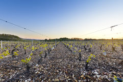 Young vineyards of Beaujolais at dawn, Burgundy, France Royalty Free Stock Image