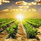 Young Vineyards in rows. Seedlings vines.Graft of the vines stock photo