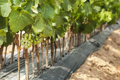 Young Vineyards in rows. royalty free stock images