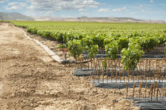 Young Vineyards in rows. Stock Photo