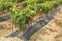 Young Vineyards in rows. stock images