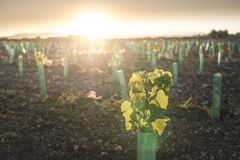 Young vineyards at sunset. New planted vineyards at sunset. Sun rays royalty free stock photo