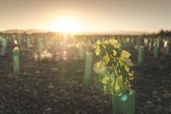 Young vineyards at sunset. New planted vineyards at sunset. Sun rays stock photography