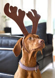 Young Viszla with reindeer antlers. At the christmas tree Royalty Free Stock Images