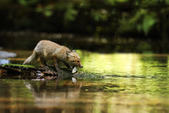 Young vixen of red fox in river eating little fish - Vulpes vulpes Royalty Free Stock Photography