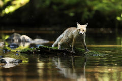 Young vixen of red fox stay in river - Vulpes vulpes Stock Images