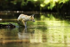 Young red fox on stone in river look on water - Vulpes vulpes. Young vixen of red fox stay in river - Vulpes vulpes Stock Photos