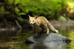 Young red fox  in river - Vulpes vulpes Stock Photography