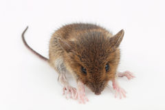 Young vole. On the table Studio Royalty Free Stock Image