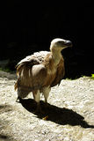 Young vulture. It's a close up of a young vulture in the Pyrenees mountains stock image