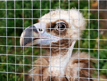 The young vulture in a cage at the zoo. Concept of cruel treatment. The young vulture Gyps fulvus  in a cage at the zoo Royalty Free Stock Photos