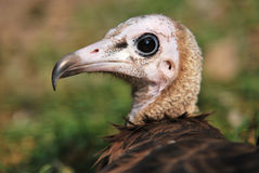 Young vulture - portrait. Portrait of young Cinereous Vulture from ZOO stock photo