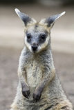 Young Wallaby Royalty Free Stock Image