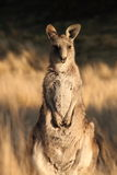 Young Wallaby Stock Photography