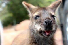Young wallaby at coles bay tasmania Royalty Free Stock Photo