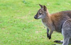 Young Wallaby Outdoors Royalty Free Stock Photos