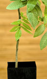 A young Walnut Tree Royalty Free Stock Photos