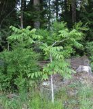 Young Walnut Tree. A young Walnut tree sports its summer coat of green leaves which contrast with its silvery gray bark. The tree is set against a woodland Stock Image