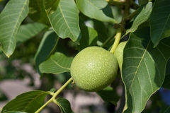 Young walnuts Stock Images