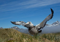 Young wandering albatross. Waiting for feeding Stock Images