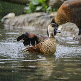 Young Wandering Whistling Duck chick cleaning itself in pond fla. Wandering Whistling Duck chick cleaning itself in pond flapping wings with water splashes Royalty Free Stock Image