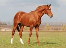 Young warm blood stallion in the spring sunlight Stock Photography