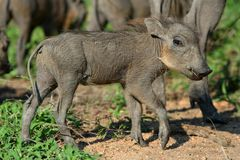 Young warthog Royalty Free Stock Photo
