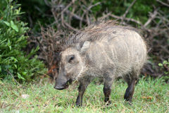 Young warthog Stock Photography