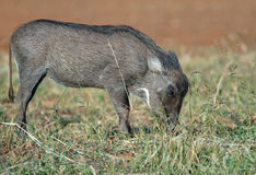Young Warthog grazing Royalty Free Stock Photos