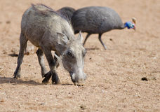 Young warthog and guinea fowl Royalty Free Stock Photography