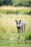 Young warthog on savanna. Young male warthog standing in tall grass Stock Photo