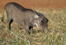 Young Warthog in typical kneeling posing Stock Photography
