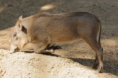Young Warthog Stock Photos