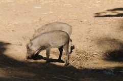Young Warthogs Stock Images