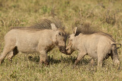 Young warthogs playing Royalty Free Stock Photos