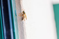 Young wasp queen is looking for a place for her nest in spring royalty free stock photography