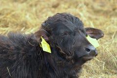 Young water buffalo Stock Photo