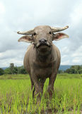 Young water buffalo Royalty Free Stock Photography