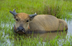 Young water buffalo out in the nature Royalty Free Stock Photography