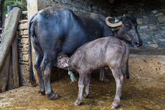 Young water buffalo suckling Stock Photos