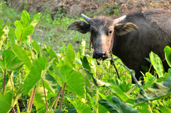 Young water buffalo Stock Photo