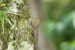Young water monitor climb up the tree Royalty Free Stock Photo