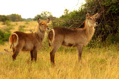 Southern african animals. Young waterbock with her mother Royalty Free Stock Photo